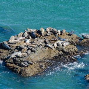 Pacific Harbor Seals (Phoca vitulina)
