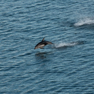 Pacific white-sided dolphin in flight