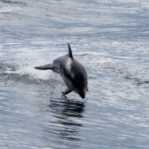Pacific White-sided Dolphin (Lagenorhynchus obliquidens)