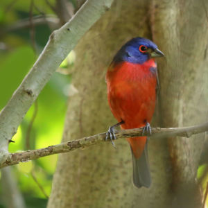 Painted Bunting: Branching Out