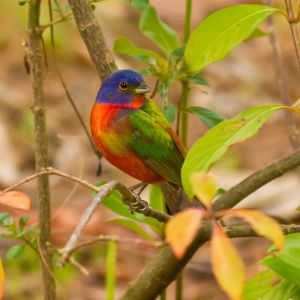 Painted Bunting, Corkscrew Audubon Sanctuary