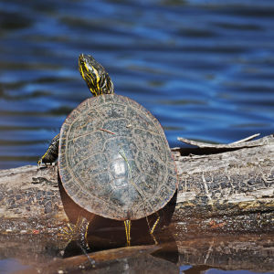 Painted turtle basking in the sun on a log