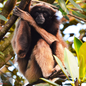Panama spider monkey