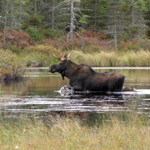 Photo of the Week - Moose at Conte National Fish and Wildlife Refuge