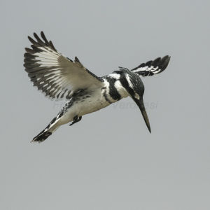 Pied Kingfisher - Gambia River 17_CD5A2361