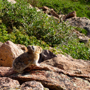 Pika on Flattop Mountain on Rocky Mountain National Park