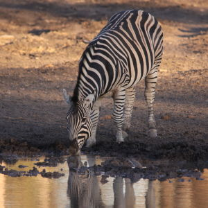 Plains Zebra, Equus quagga drinking at sunset in Mapungubwe