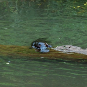 Platypus at Barron River