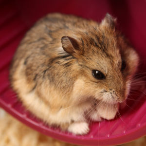 Campbell's Dwarf Hamster - Facts, Diet, Habitat & Pictures