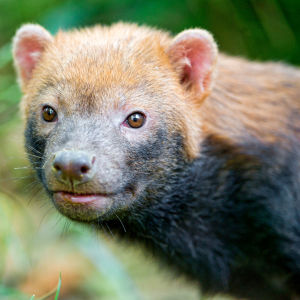 Portrait of a cute bush dog