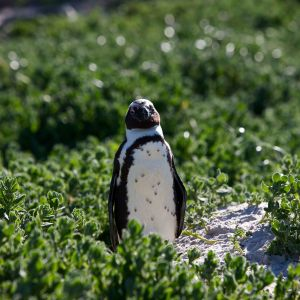Portrait of South African Penguin