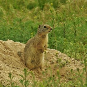 Prairie Dog Lookout