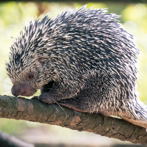 Prehensile Tail Porcupine Curled and Relaxed