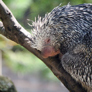 Prehensile Tailed Porcupine