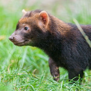 Profile of a baby bush dog