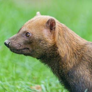 Profile of a bush dog