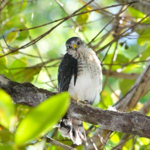 Puerto Rican Sharp shinned Hawk perched on a tree