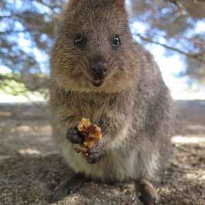 adaptations of the quokka 2018-8-13 people (and their pets) make a house a home animals are not attached to a building like people are when you move to a new.
