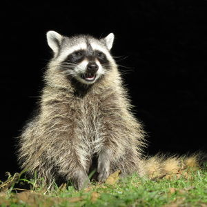 Raccoon Youngster