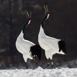 Red-Crowned Crane photo