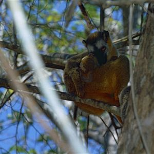 Red-fronted Brown Lemur (Eulemur rufifrons) female with young