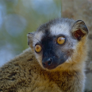 Red-fronted Brown Lemur (Eulemur rufifrons) female