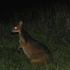 Red-legged Pademelon, Atherton Tablelands