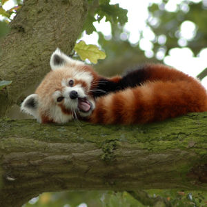 Red Panda in a Tree Y A W N I N G!
