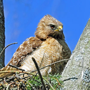 Red Tailed Hawk on her nest.