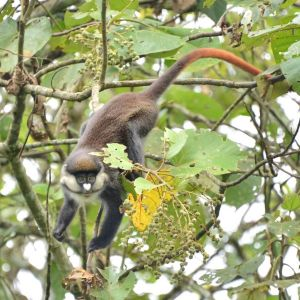 Red-Tailed Monkey, Uganda