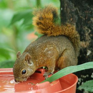 Red-tailed Squirrel (Sciurus granatensis) 2015-06-05 (10)
