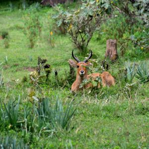 Reedbuck, Bale Mountains National Park (1)