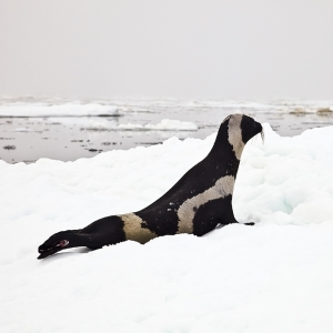 ribbon-seal-male Josh London NOAAedit