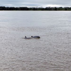 River dolphins