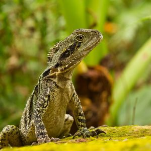 Australian Water Dragon photo