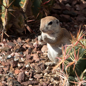 Round Tailed Ground Squirrel Nibbling
