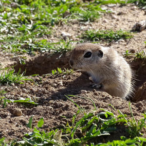 Roundtail-ground-squirrels-