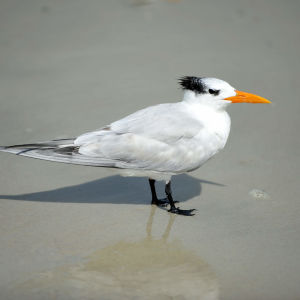 Royal Tern (Thalasseus maximus) with winter plumage