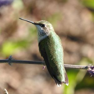 Ruby-Throated Hummingbird - Chicago Botanic Garden