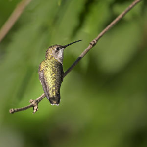 ruby-throated hummingbird male our yard early aug