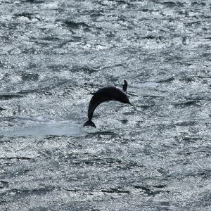 Peale's Dolphin photo