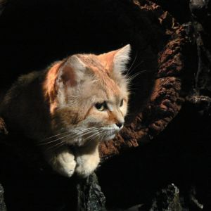 Sand Cats are cuuuute
