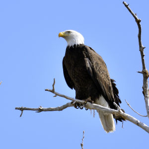 Schriever photographer snares elusive bald eagle photos