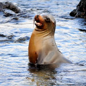 Sea lion on Santiago Island in the Galapagos Islands
