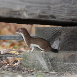 Short-tailed weasel (ermine)