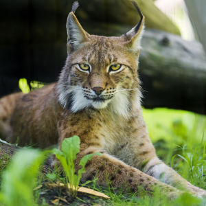 Siberian lynx on the grass