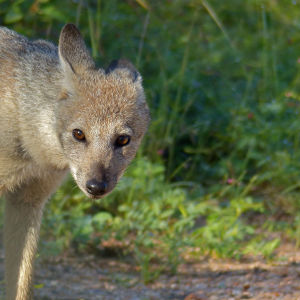 Side-striped Jackal (Canis adustus): rare sighting of this nocturnal animal ...