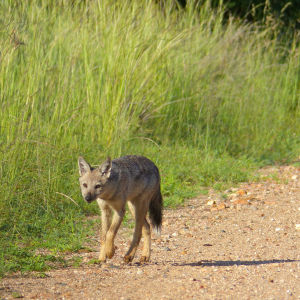 Side-striped Jackals (Canis adustus): rare sighting of this nocturnal animal ...
