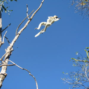 Sifaka leaping from tree to tree