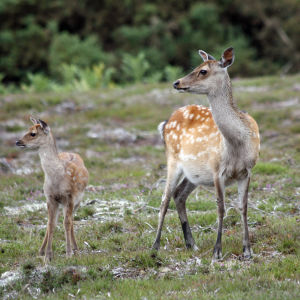 Sika Deer and fawn